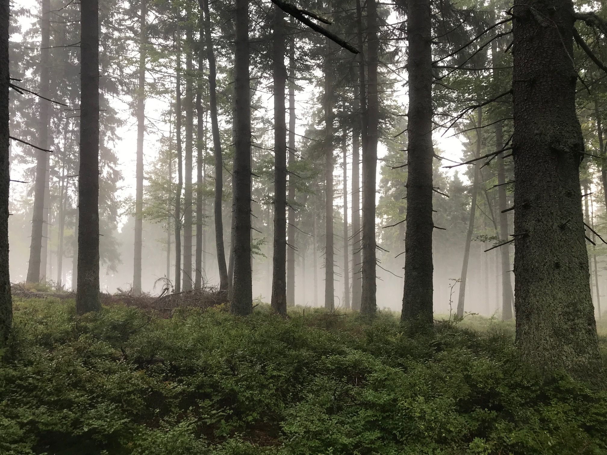 beskid żywiecki lasy